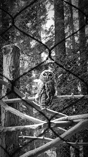 At the Northcoast Northern California Zoo . Redwood Trees Redwoods Owls Taking Photos Hanging Out Enclosed Saddness Check This Out Blackandwhite Black And White Black And White Photography Black & White