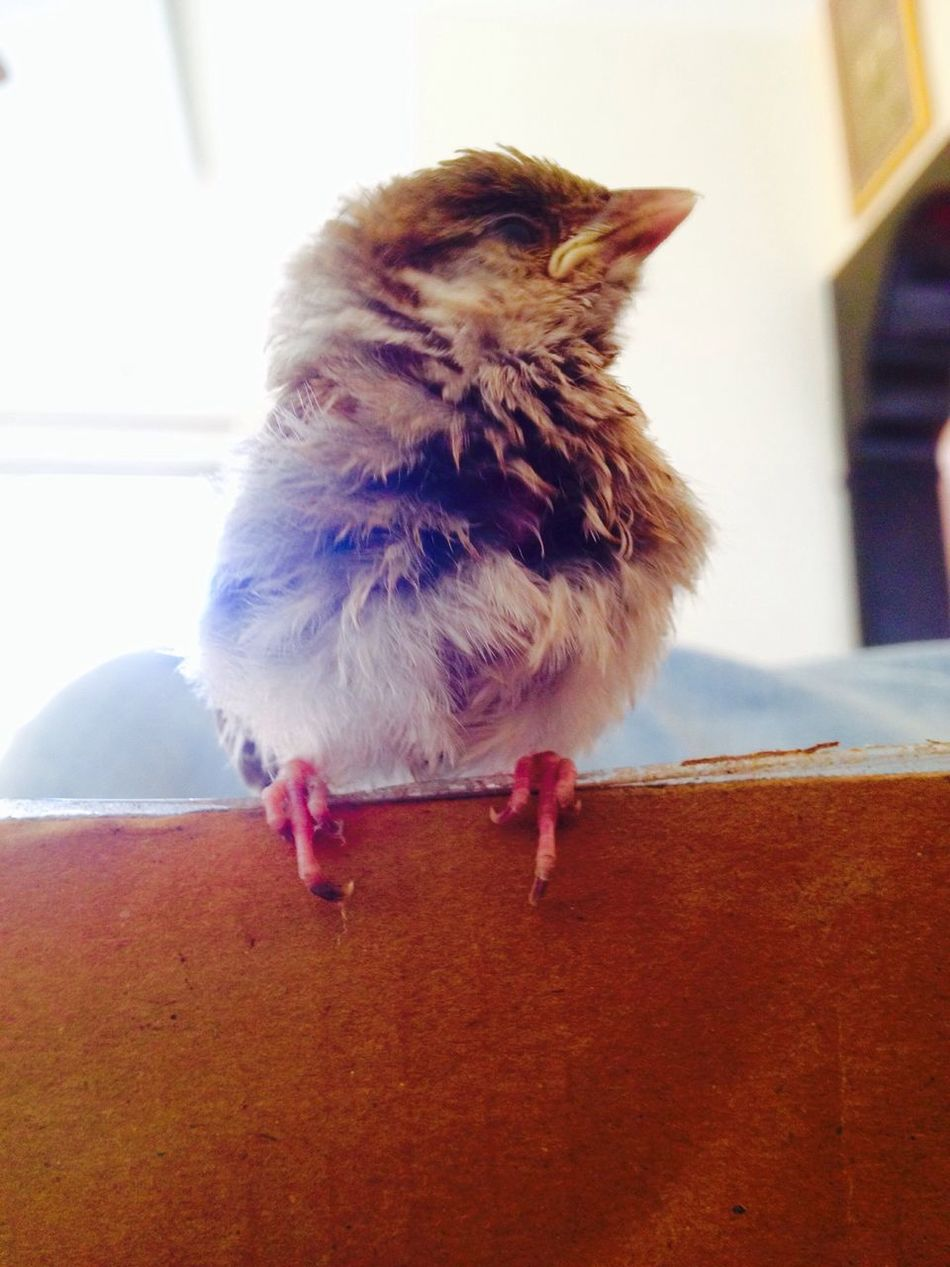 Sparrow Cute Shows Middle Finger 😂 Brown Baby