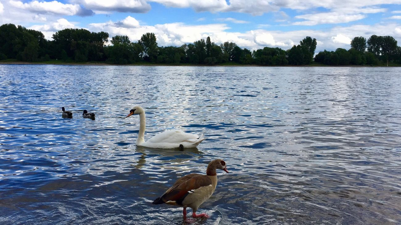 Animals In The Wild Animal Themes Water Lake Bird Swimming Animal Wildlife Water Bird Nature Swan No People Day Outdoors Togetherness Sky Swans Duck Birds Bird Photography Schwan  Ente Vogel лебедь  утки птицы