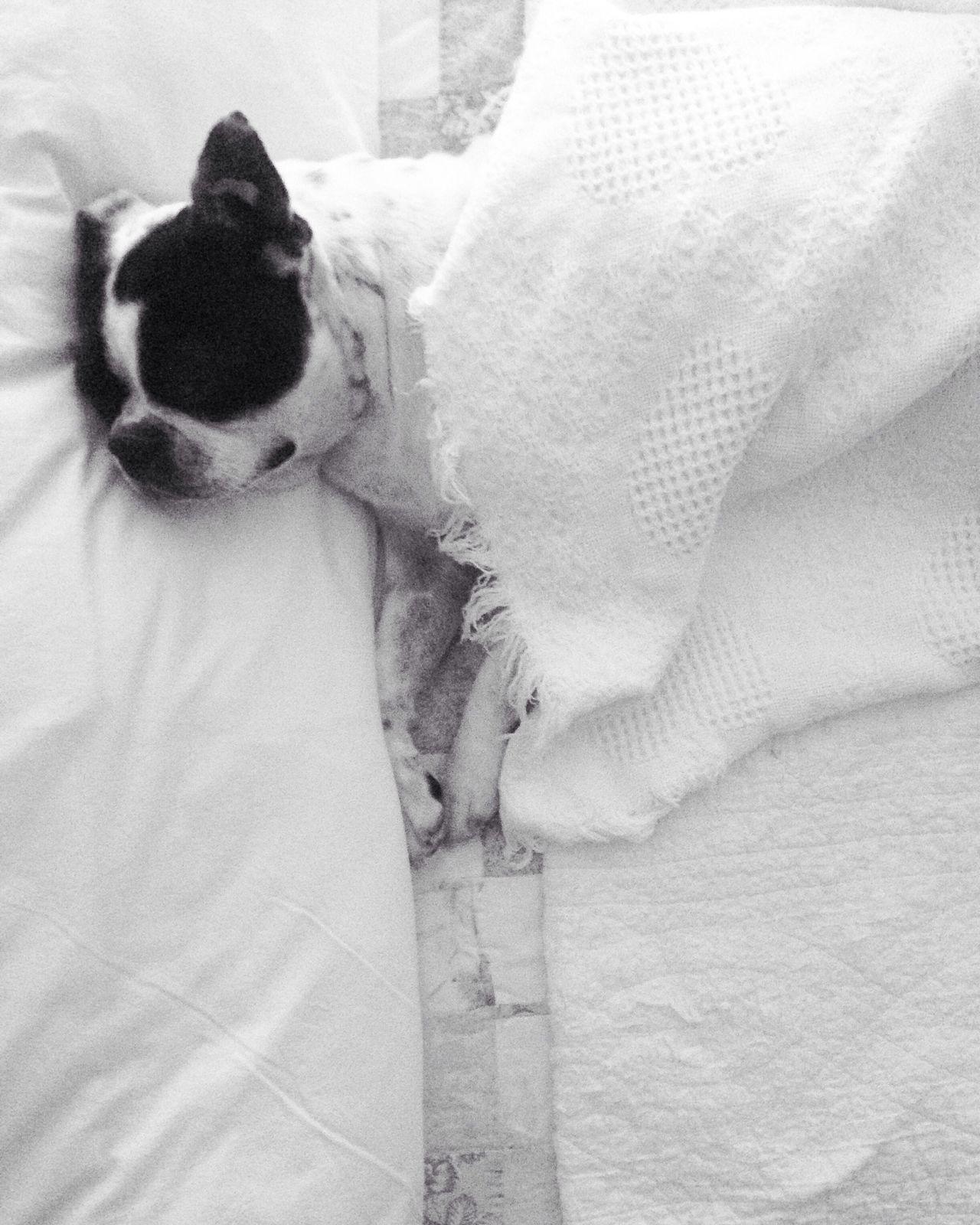 Dormir Sleep Perro Dog Boston Terrier