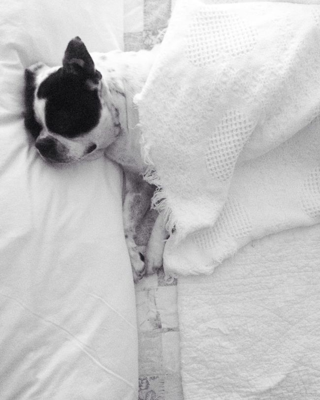Dormir Sleep Perro Dog Boston Terrier
