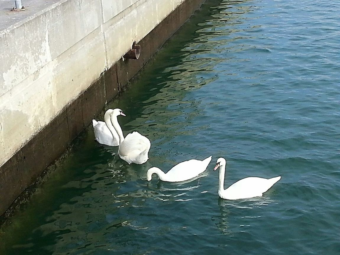Swans of Sheepshead Bay Sheepshead Bay Relaxing Brooklyn Nyc Taking Photos