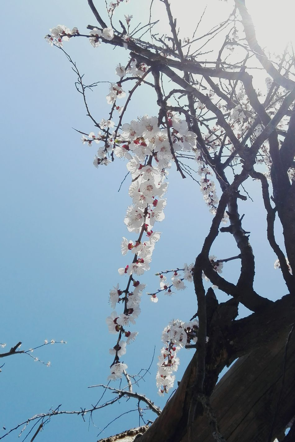 Nature Tree Beauty In Nature Branch Low Angle View No People Sky Outdoors Close-up Apricot Flowers Wolfzuachis Showcase: March Veronica Ionita @WOLFZUACHiV Showcase: 2017 Eyeem Market Huaweiphotography Wolfzuachiv On Market Edited By @wolfzuachis Apricot Blossoms Apricot Branch Blossomed Apricot Tree Blossomed Uppon Blue Sky Apricot Tree Blossomed Springtime EyeEmNewHere