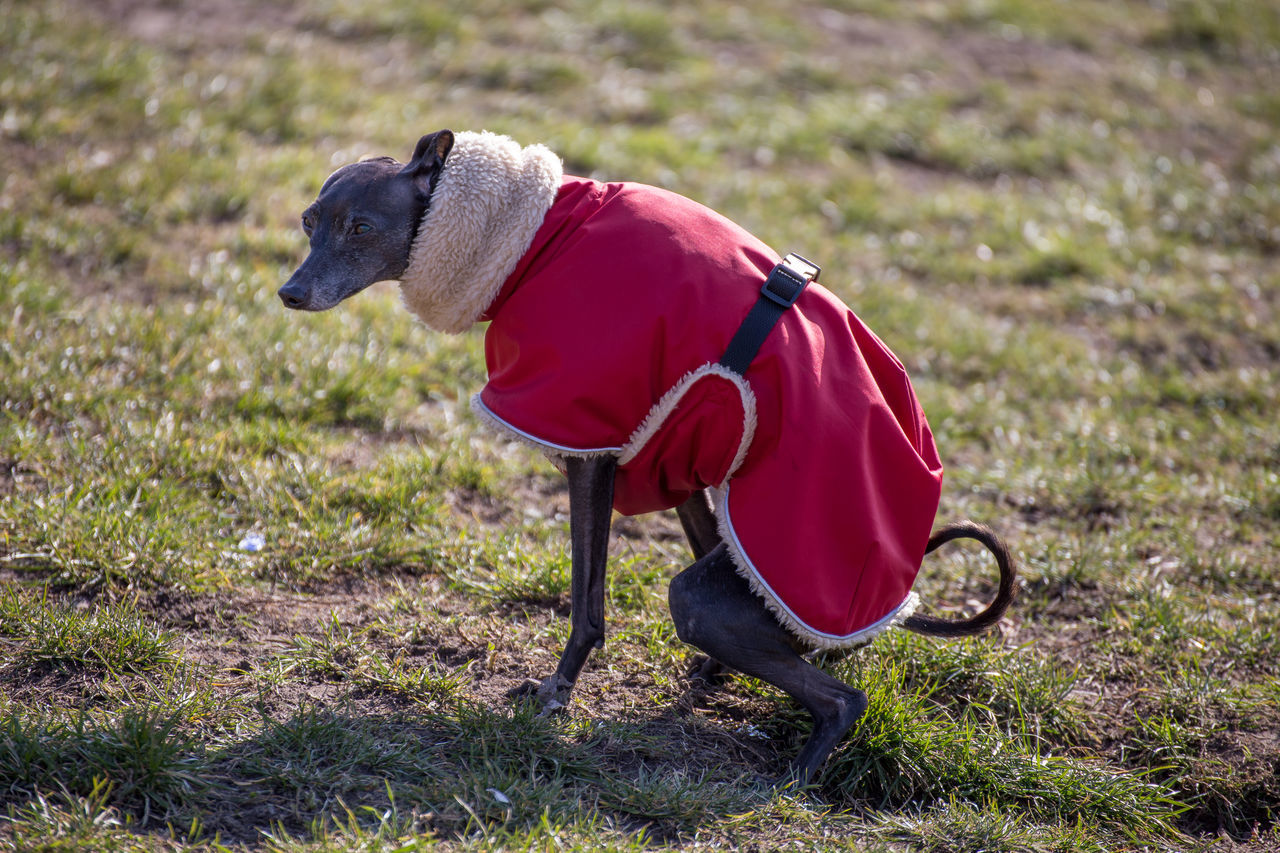 Animal Themes Day Dog Clothes Dog Coat Domestic Animals Field Grass Humamize Humanization Nature No People One Animal Outdoors Present In Human Form Whippet