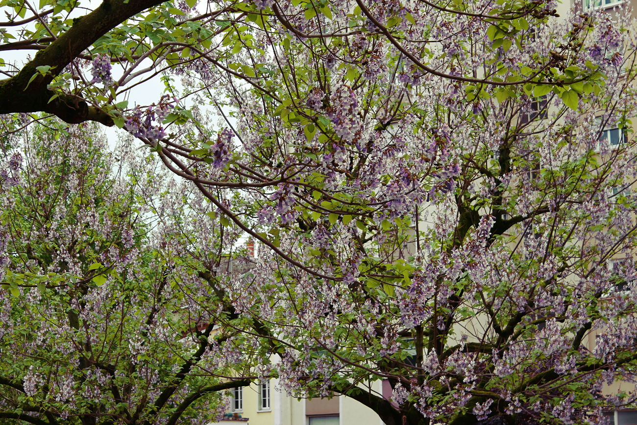 Blooming Urban Trees City Flowers France Nature Photography Rhonealpes Travel Trees Urban Vienne