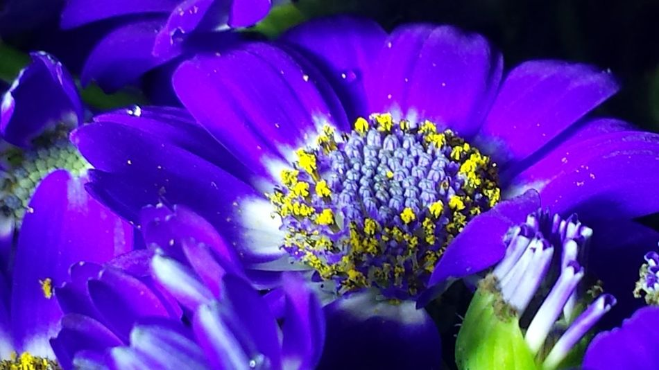 Flowers Flower The Flowers Series EyeEm Nature Lover Popular Photos Taking Photos Macro Photography Floral Perfection Pastel Power Macro Flower Collection Macro Beauty Macro_flower Macrophotography Macro_collection The Purist (no Edit, No Filter) Cineraria