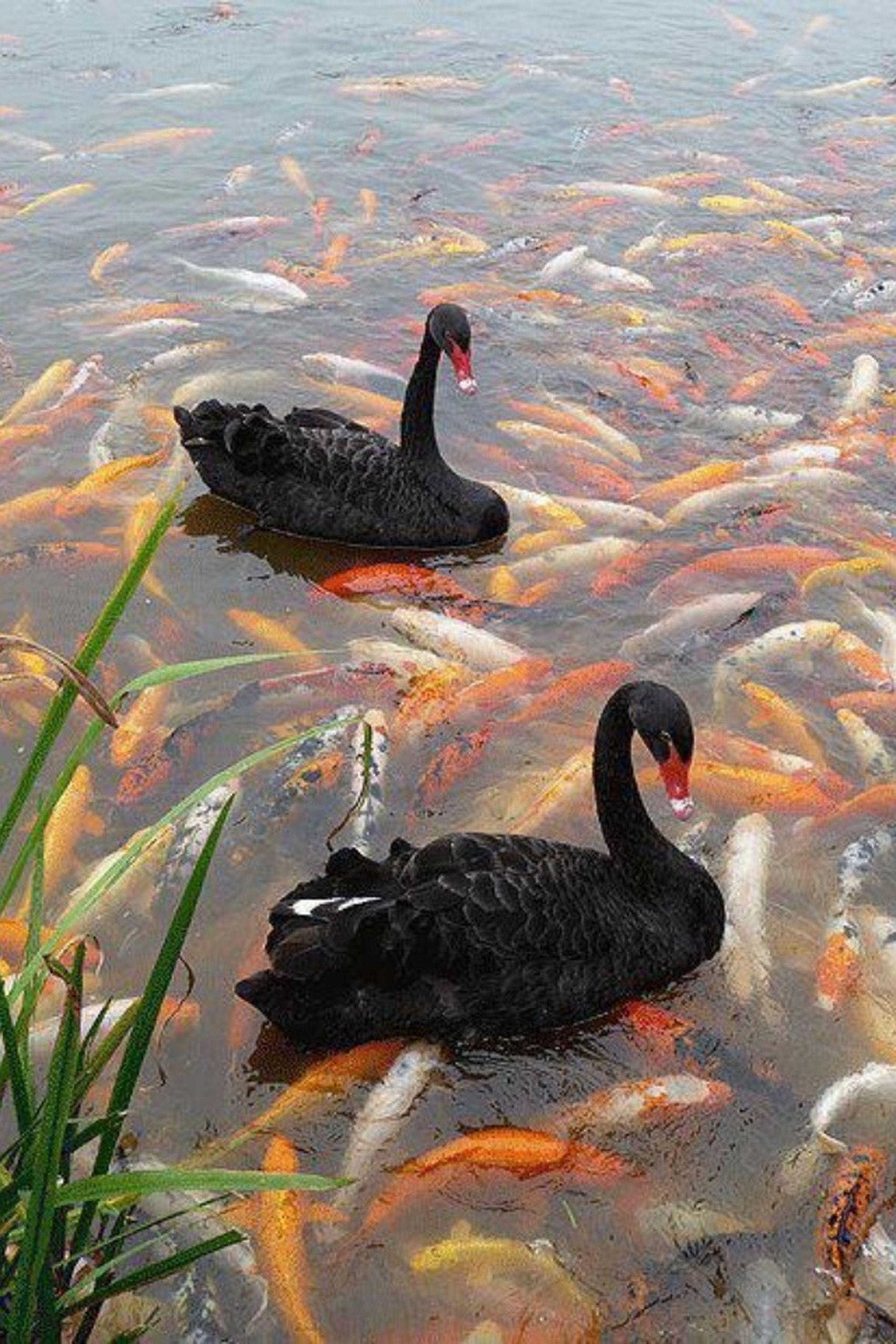 animal themes, animals in the wild, bird, wildlife, water, lake, duck, one animal, nature, mallard duck, swimming, high angle view, reflection, pond, two animals, outdoors, beak, zoology, water bird, no people