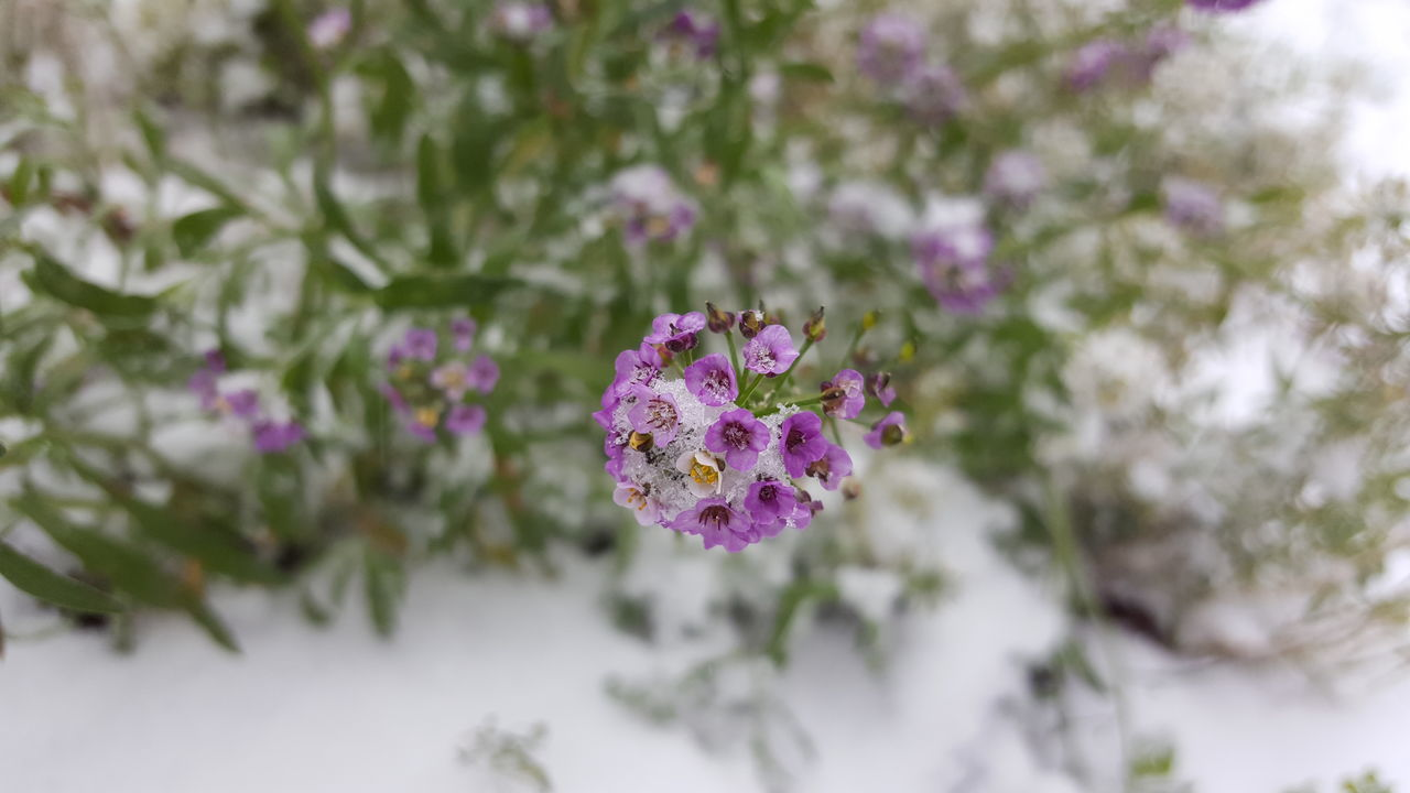 Snow Flower Plant Fragility Beauty In Nature Nature Pink Color No People Day Outdoors Growth Flower Head Freshness Close-up Wildlife & Nature Green Color Flora Floral Petal White Color