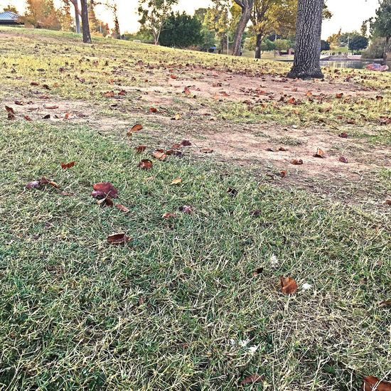 Falling leaves Tree Grass Outdoors Nature Day Growth Field No People Beauty In Nature Close-up Beauty In Nature Nature Scenics Tree Low Angle View Check This Out