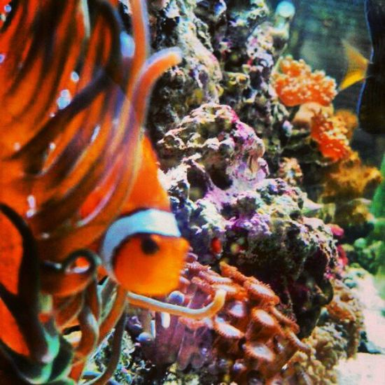 Nemo bonding with the anemone :) Clownfish Nemo Anemone Saltwatertank aquarium cute instafish