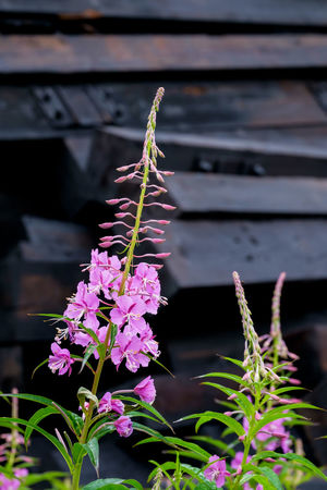 Fireweed is blossoming in front of a pile of wooden railroad ties. Morning Beauty In Nature Blossoming  Close-up Fireweed Flower Fragility Freshness Growth Inflorescence Leaf Nature No People Outdoors Pile Plant Purple Flower Railroad Ties Rosebay Willowherb Summer Wildflowers Wooden