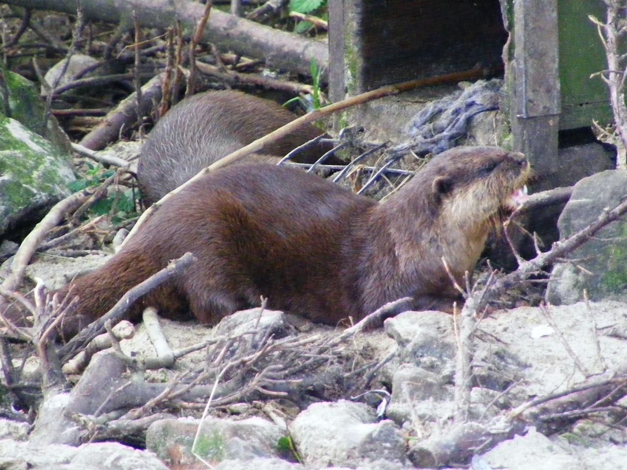 Animal Animal Photography Animal Themes Animals Mammal Otter Otter Photography Otters Wildlife