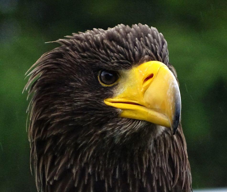 Beautiful stock photos of eagle, Animal Eye, Animal Head, Animal Themes, Animals In The Wild