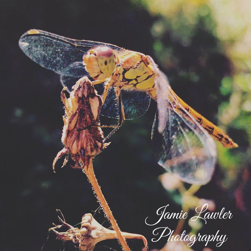 Dragon Fly Wildlife Wildlife Photography Wildlife & Nature
