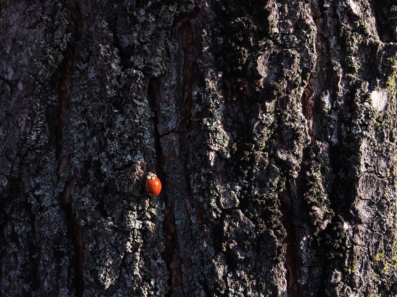Lady bug on a tree... Tree Trunk Tree Textured  Outdoors Nature Close-up Beauty In Nature Insect Ladybug Red Texture VSCO My Favorite Photo Details Of My Life Made In Romania Nature IPhoneography Insect Macro  Insects  Textures Textures And Surfaces Macro Macro Nature Bug Bugslife