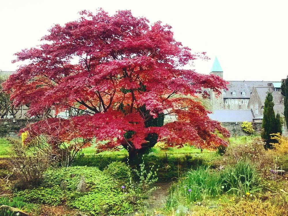 Red Tree Nature No People . Outdoors Dublin Ireland