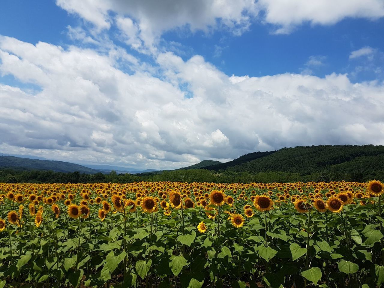Cloud - Sky Field Landscape Sunflowers🌻 Sunfllowers Nature Agriculture Farm Crop  Rural Scene Nature Beauty In Nature Day Flower Mountain Plant Outdoors Sky Cultivated Scenics Growth No People Freshness