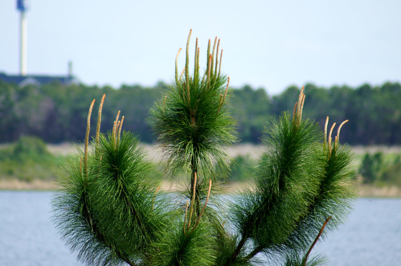 Orchestra Conductor Beauty In Nature Close-up Day Focus On Foreground Freshness Green Color Growth Nature No People Orchestra Orlando Florida Lake Outdoors Pine Tree Plant Sky Sprouting