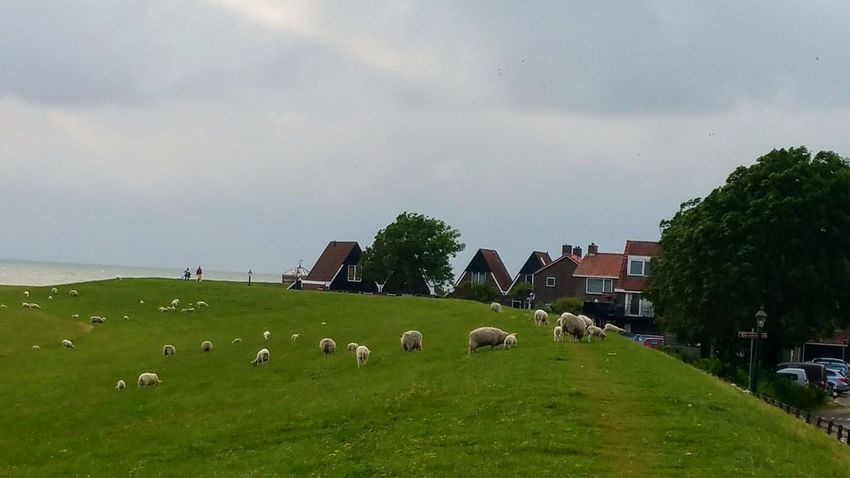 Sommergefühle Grass Agriculture Green Color Nature Tree Rural Scene I LIKE👍EyeEm😃👍 Ijsselmeer Lovely Place Tranquility Livestock Flock Of Sheep Sheep Landscape Large Group Of Animals Built Structure Beauty In Nature Outdoors Domestic Animals Mammal No People Sky Day