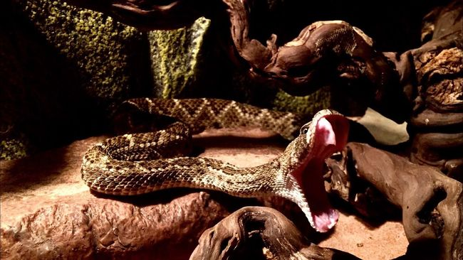 Crotalus Atrox Snake Venomous Klapperschlange Tangerine Gift Schlange  Texas Klapperschlange