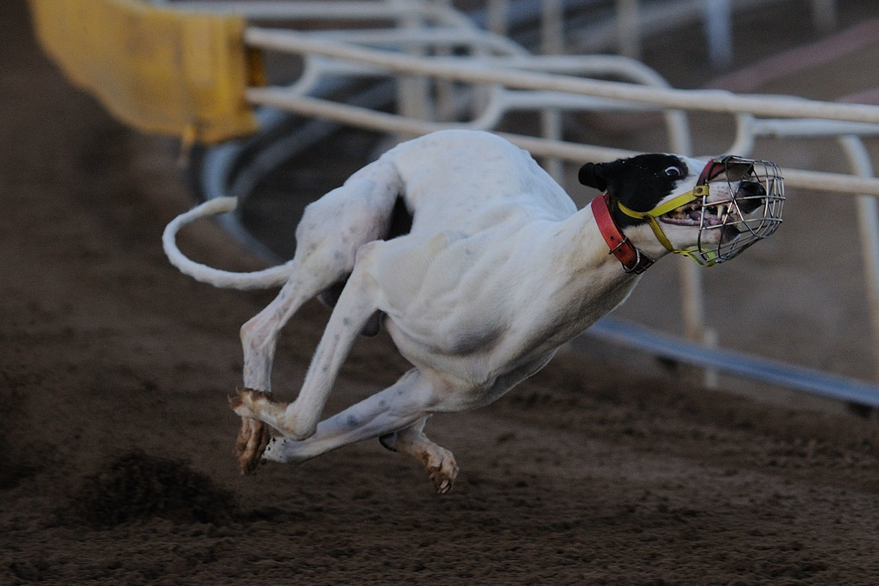 Racing greyhound intensity at Phoenix Greyhound Park Animal Themes Close-up Day Domestic Animals Greyhound Greyhound Racing Greyhounds No People One Animal Outdoors