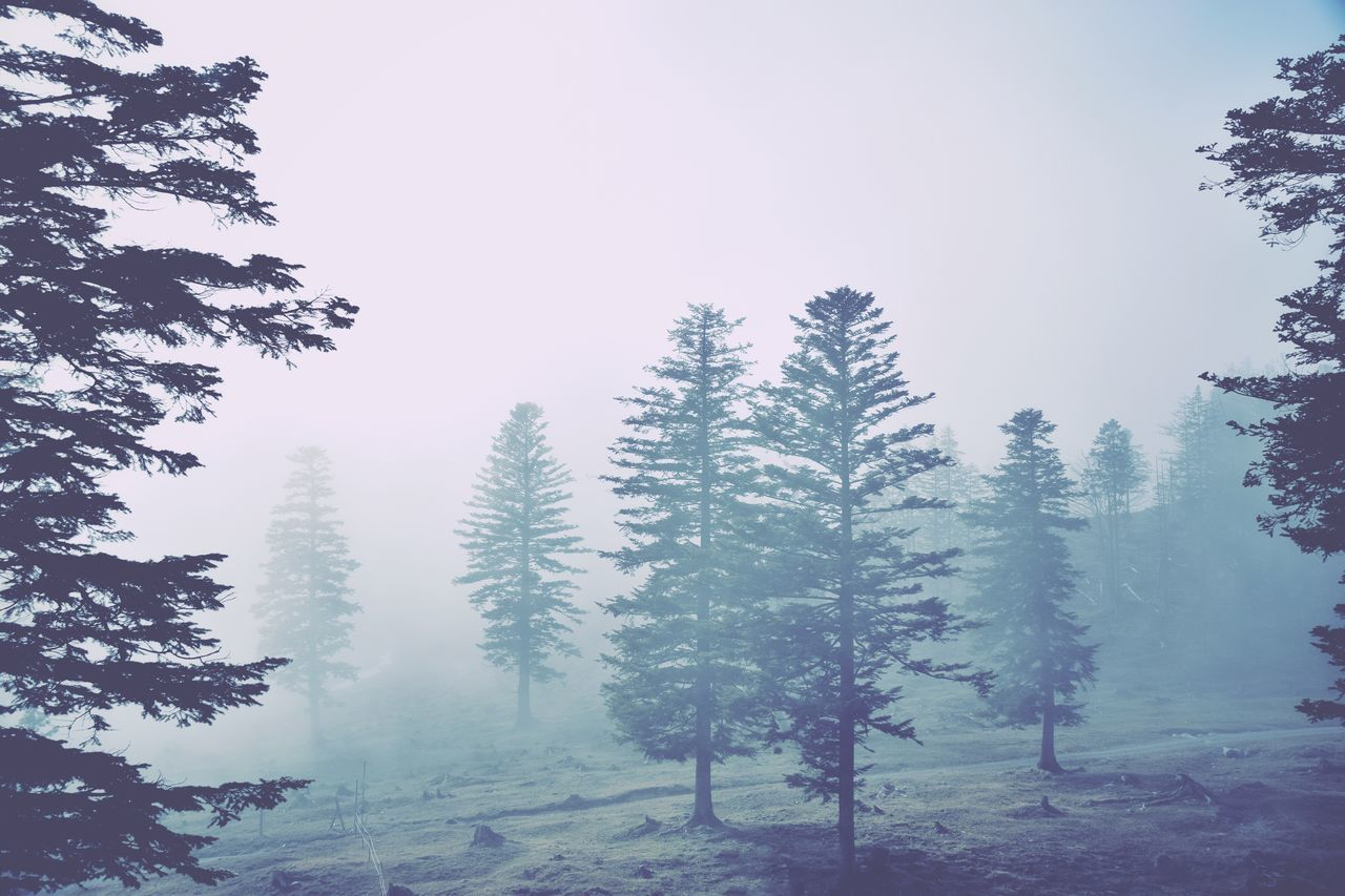 Tree Forest Nature Pine Tree Fog Landscape Scenics Beauty In Nature Coniferous Tree WoodLand Cold Temperature Outdoors Tranquility Mountain No People Day Pine Wood