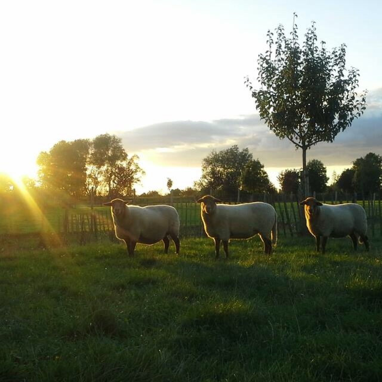 Beautiful sunset with the sheep Capture The Moment