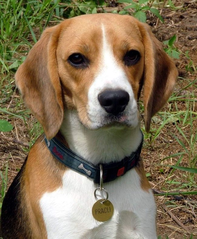 Animal Head  Beagle Beaglelovers Collar Dog Dog Collar Dog Collars Domestic Animal Looking At Camera Nyakörv Paw Portrait Pracli Puppy Puppy Eyes Puppy Face Puppy Love Puppyeyes PuppyLove