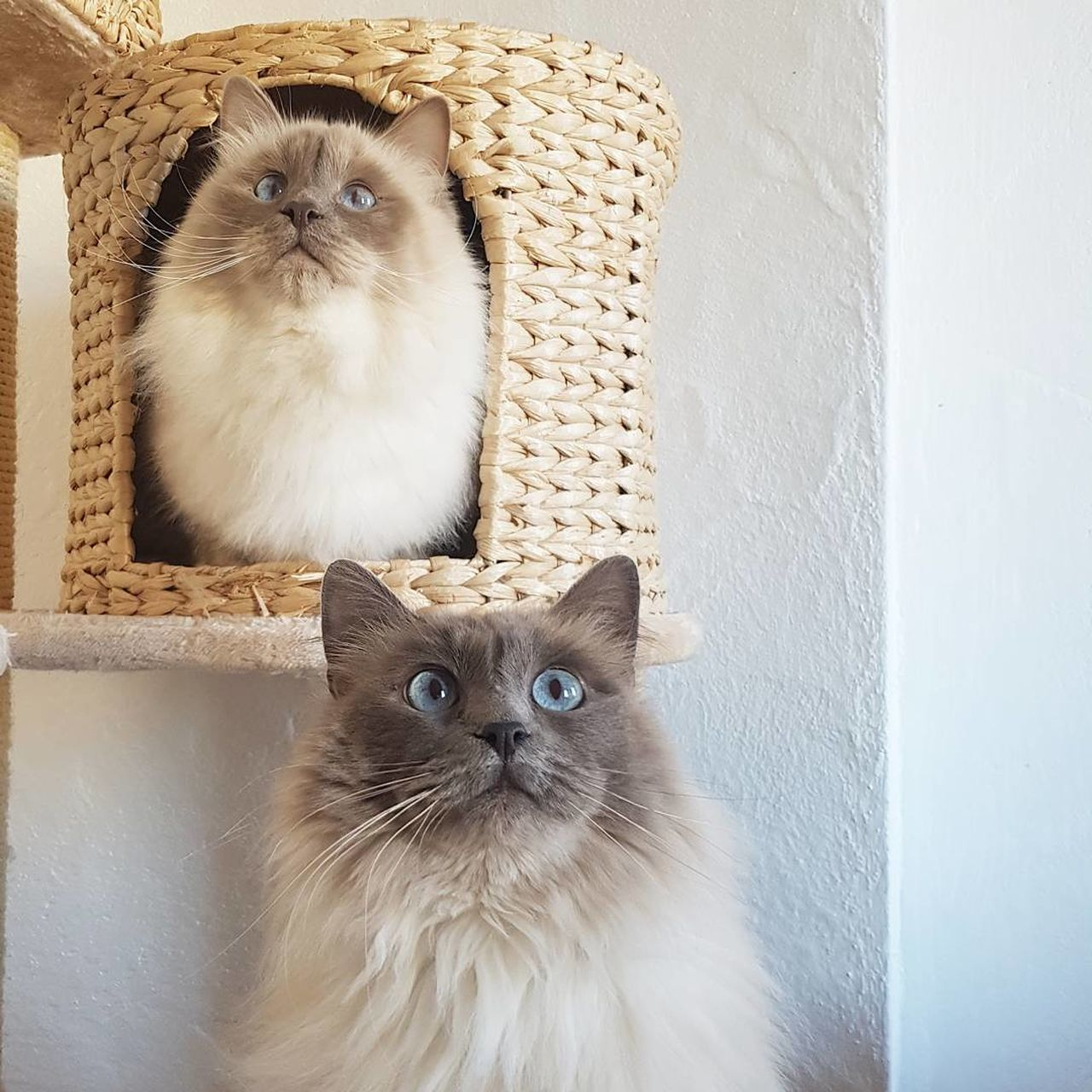 Cat Looking At Camera Birman  Kitten Animal Whisker Domestic Cat Pets Close-up Katze First Eyeem Photo