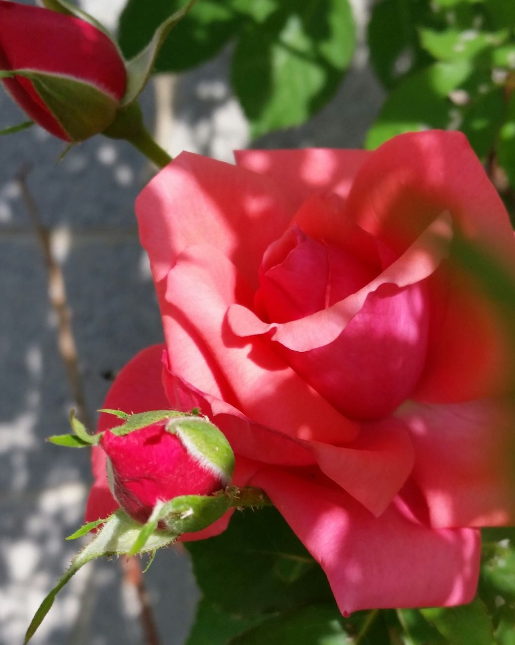 flower, petal, nature, beauty in nature, fragility, plant, rose - flower, flower head, growth, pink color, red, freshness, no people, outdoors, close-up, day, leaf, blooming, bougainvillea
