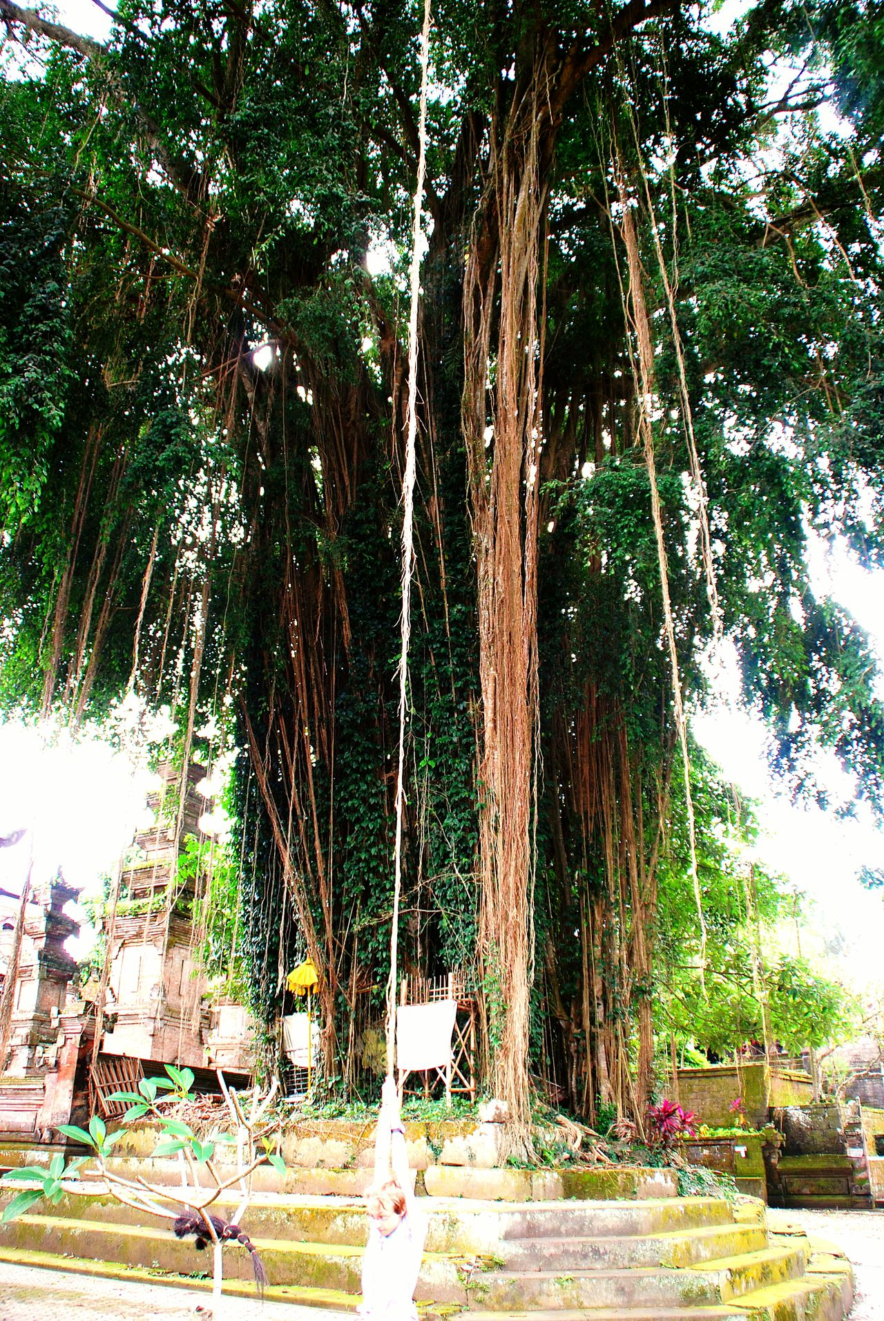 Baum Tree TreePorn Hugging A Tree Tree_collection  Grün Bali Indonesien INDONESIA EyeEm Indonesia Liane Liana Green Greenery Green Green Green!  Showcase: January