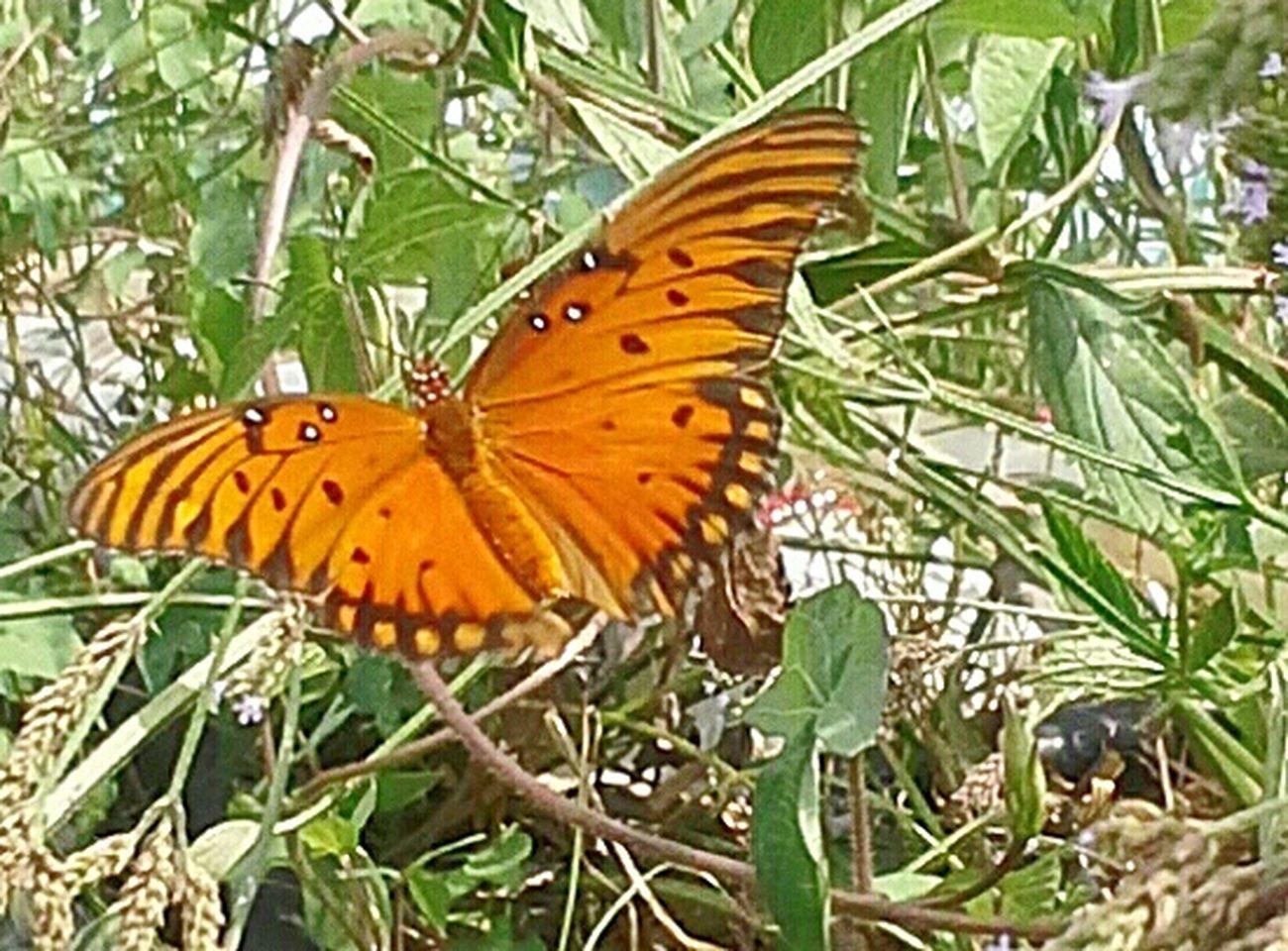 Nature Texas United States Wild Savage Mariposa