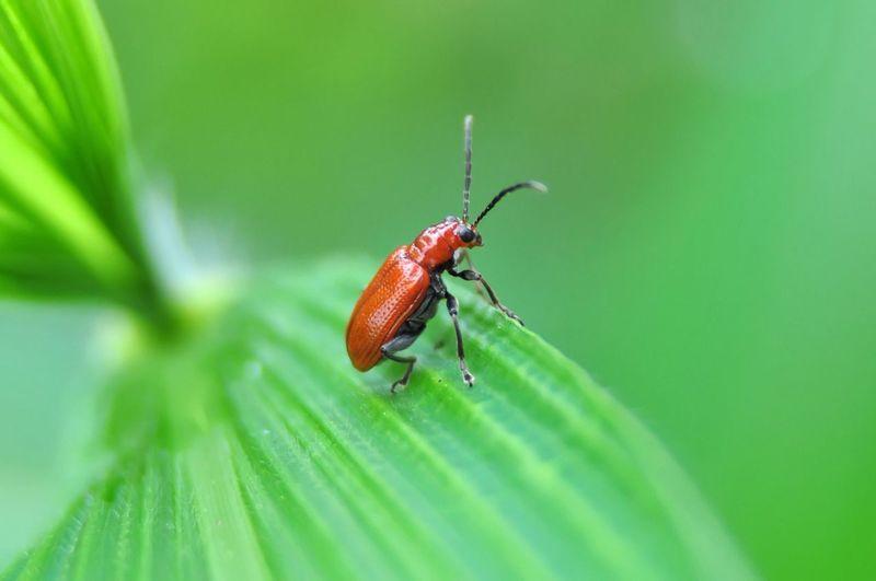 Aulacophora foveicollis Aulacophora Foveicollis Bug Insect Coleoptera Nature Animal Anthropoda Macro Photography