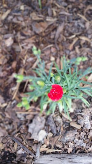Little Bud Says Hi in Red