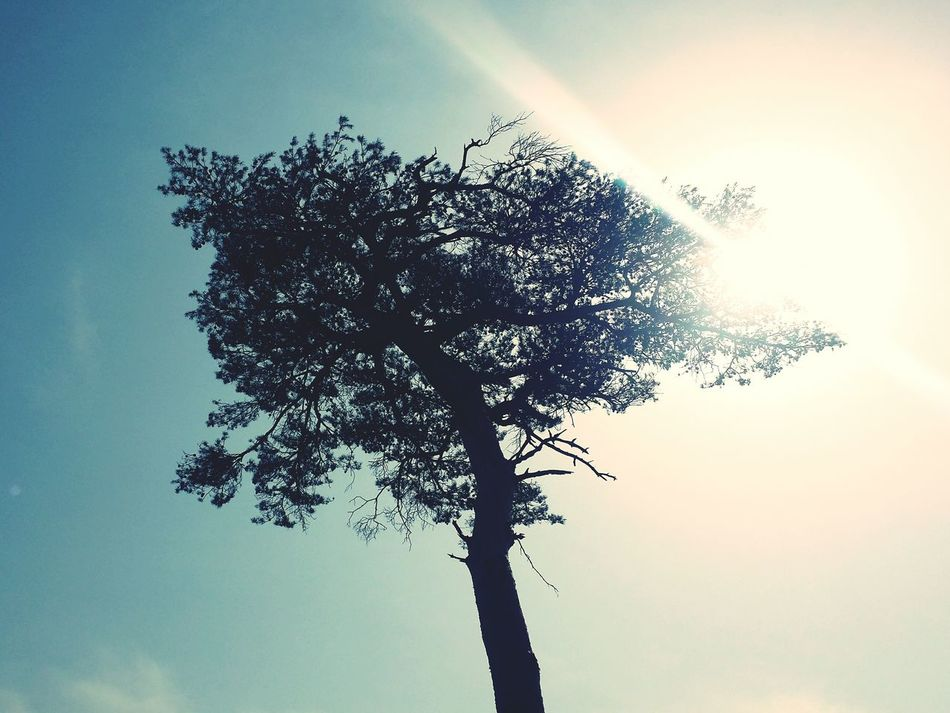 Tree Finetree Ray Of Light Sunlight Sky And Clouds Nature Silhouette The Great Outdoors - 2016 EyeEm AwardsThe Great Outdoors - 2016 EyeEm Awards