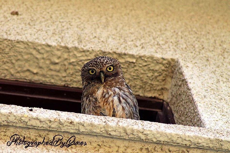 Taking Photos PhotographedByGunes Olws Owl Owl Eyes Colwslaw