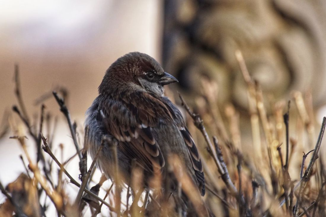 Showcase January 2018 2018 Jan Niklas House Sparrow Bird Animal Wildlife Animals In The Wild Perching Nature Day Outdoors Songbird  Animal Themes One Animal No People Close-up Beauty In Nature Bird Of Prey Full Length Shades Of Winter