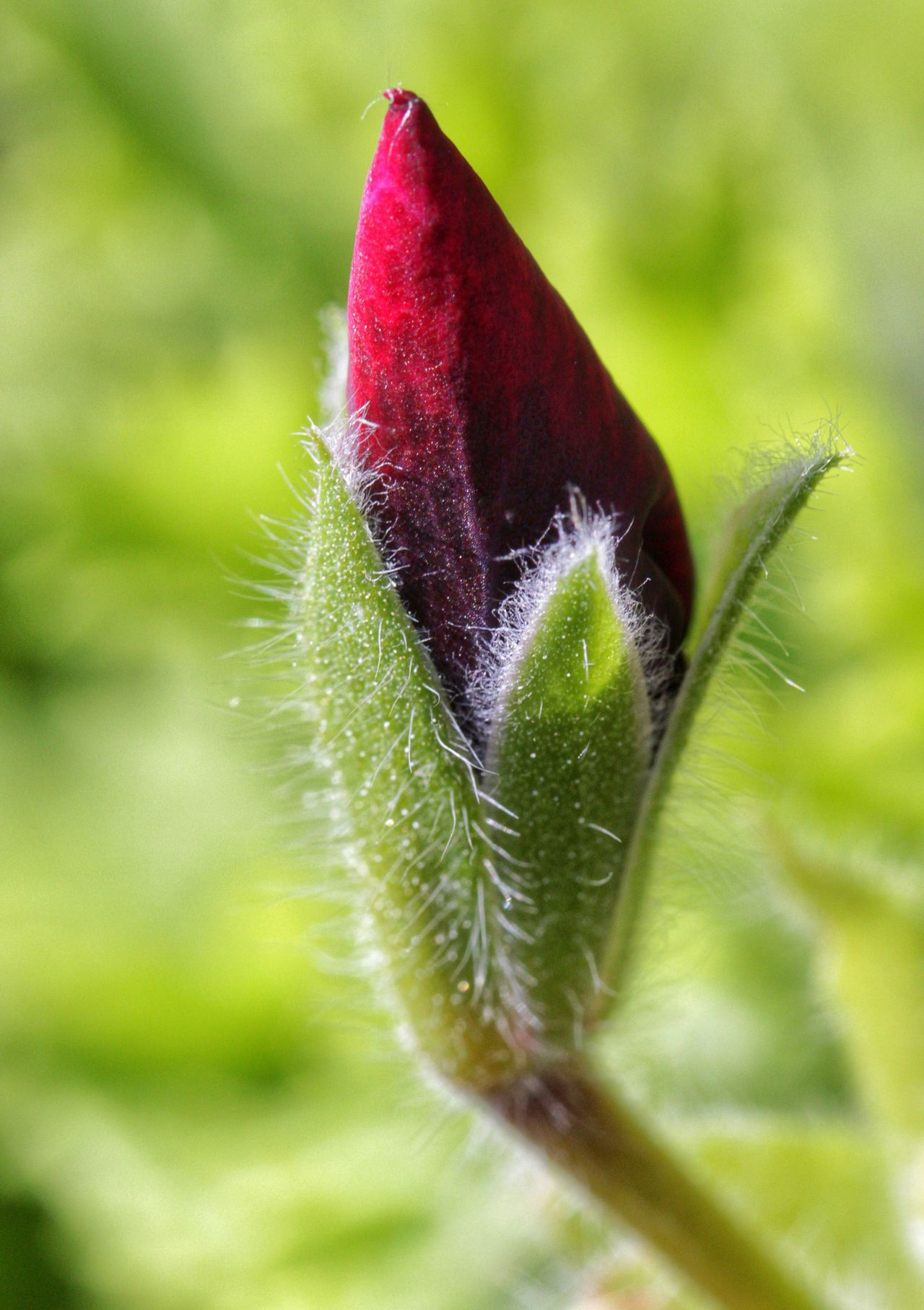 Bud Close-up Closed Bud Closed Red Bud Flower Flower Bud Flower Head Focus On Foreground Green Color Plant Red Red Bud Red Buds Red Flower Bud Red Flower Buds Selective Focus Single Flower Stem