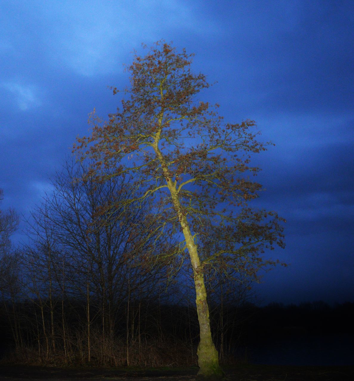 tree, tranquility, sky, nature, tranquil scene, landscape, outdoors, blue, scenics, bare tree, beauty in nature, no people, lone, branch, tree trunk, growth, forest, night