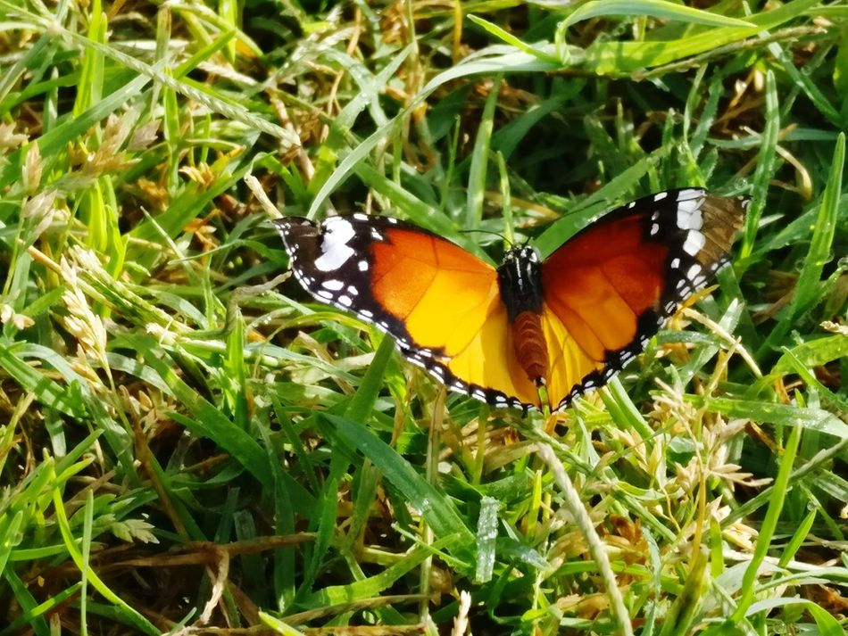 TCPM Butterfly Butterflies Insect Animals In The Wild Animal Themes Butterfly - Insect One Animal Wildlife Animal Wing Nature No People Animal Wildlife Leaf Outdoors Plant Green Color High Angle View Close-up Day Growth Animal Markings