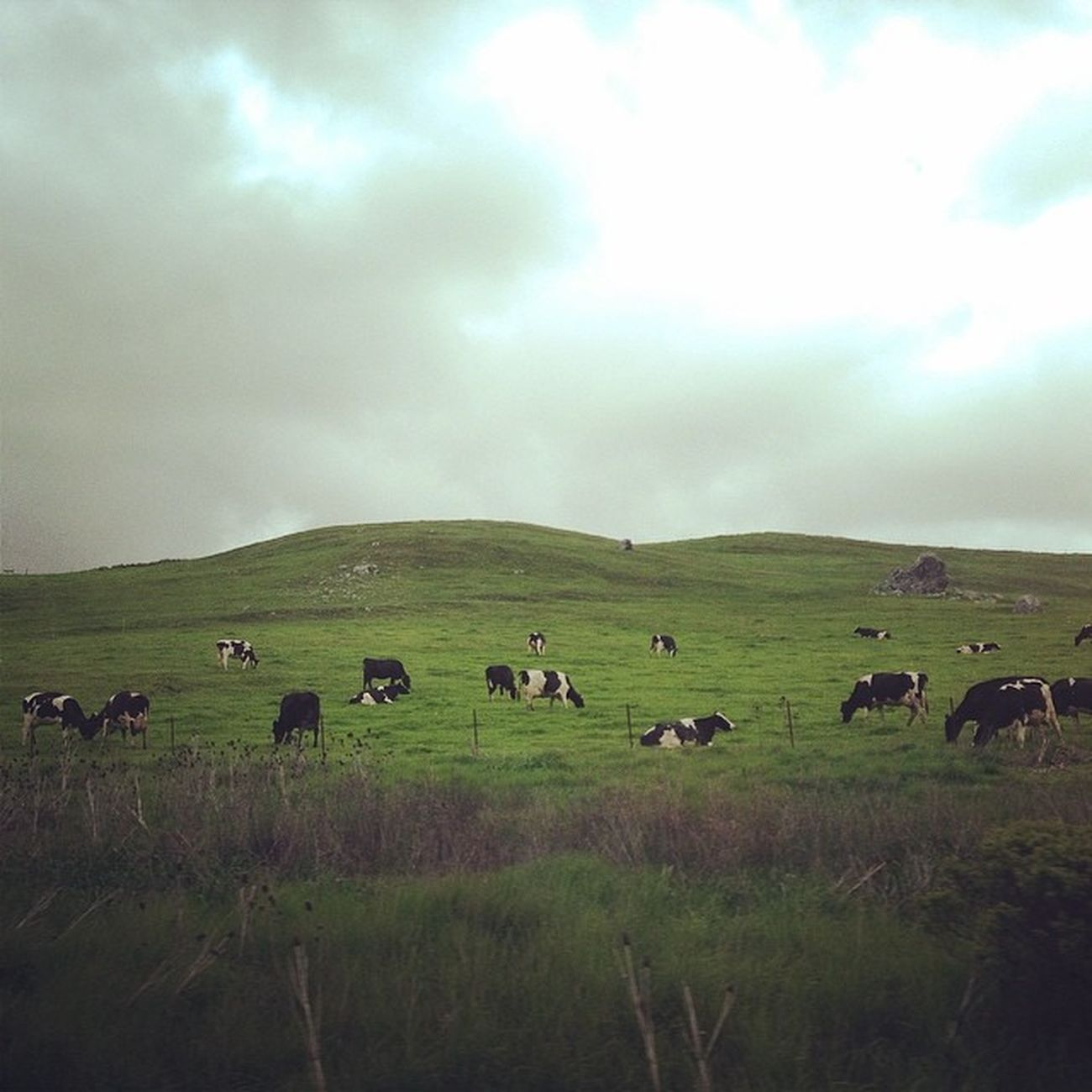 Happy California cows. CA Nature