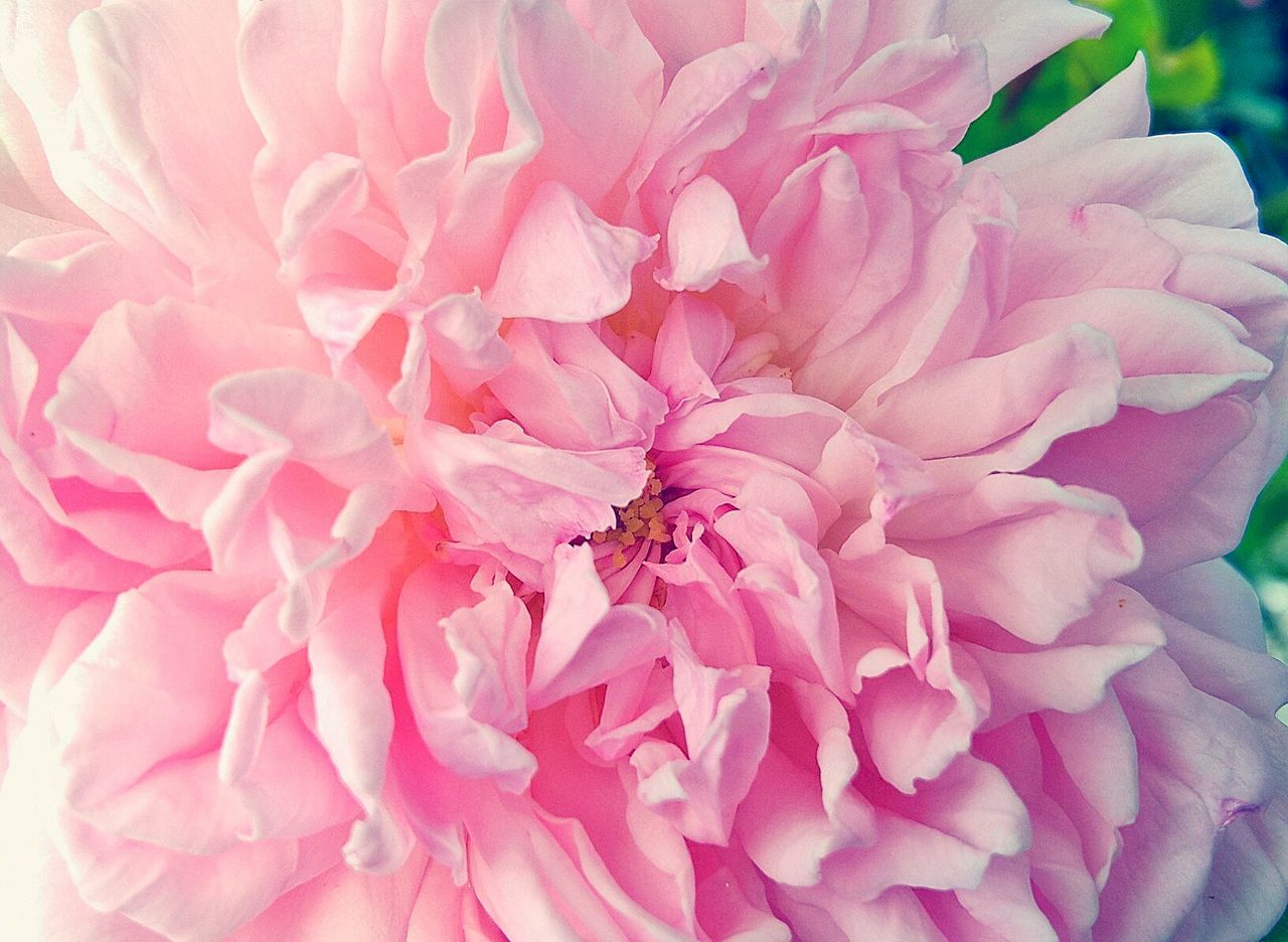 flower, petal, pink color, fragility, flower head, nature, one animal, beauty in nature, close-up, no people, animal themes, growth, freshness, animals in the wild, outdoors, day, peony