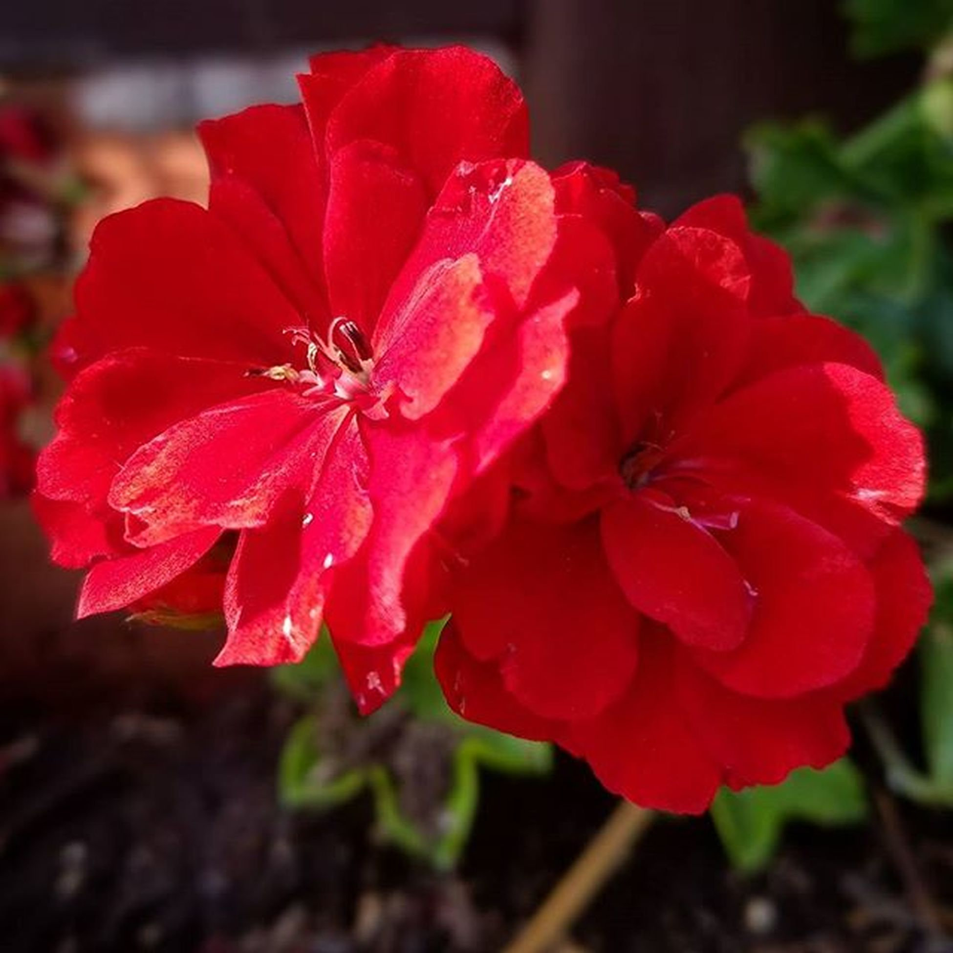 BrightDay Red Flowers Natural Garden Nature Instagram Beauty Lovely Perfectred