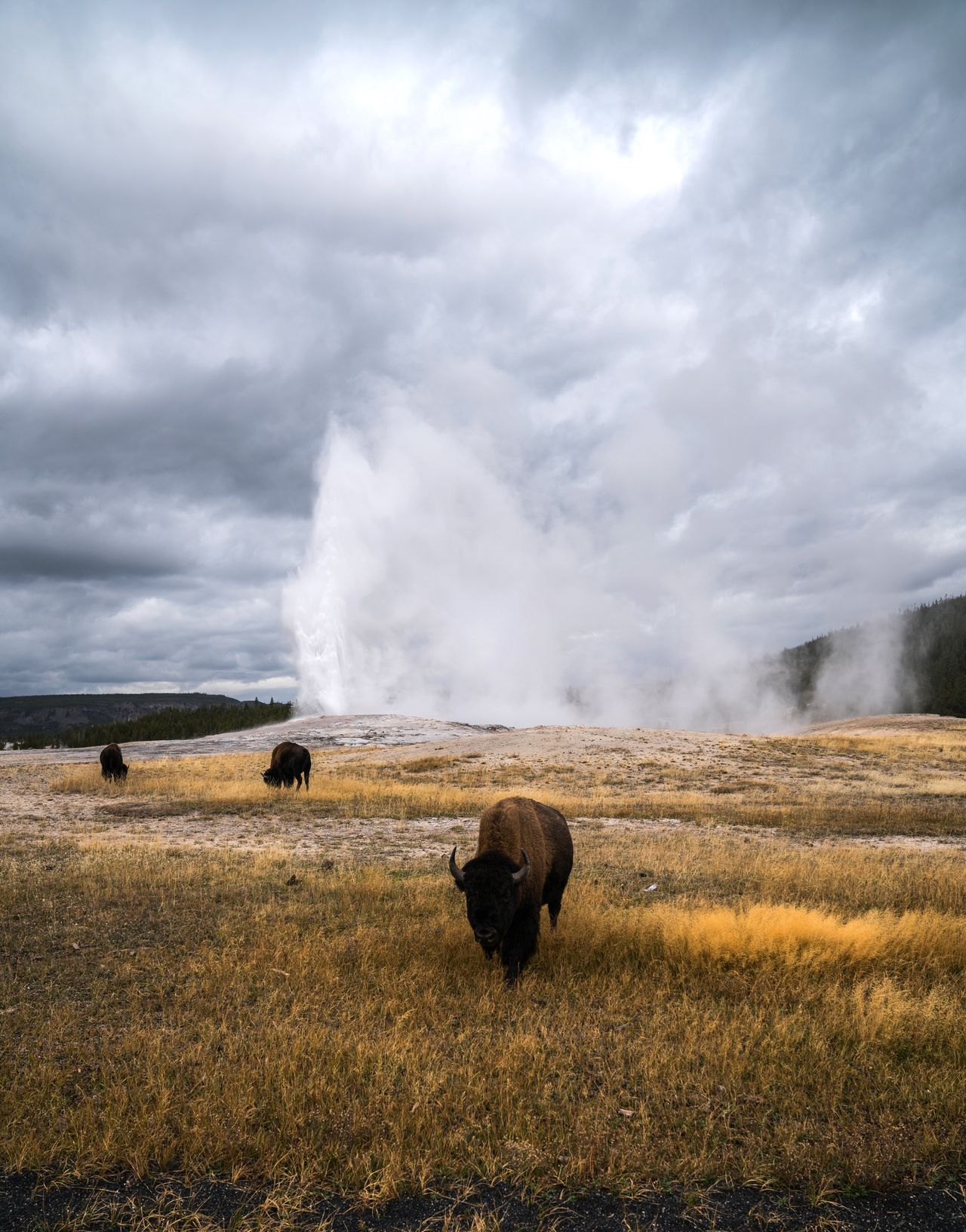 Faithful Distance. Animal Themes Nature Landscape Sky Mammal Field Livestock No People Day Grazing Beauty In Nature Outdoors Grass Cloud - Sky Scenics American Bison Bison Old Faithful Geyser Erupting Yellowstone National Park Yellowstone Wyoming National Park Animals