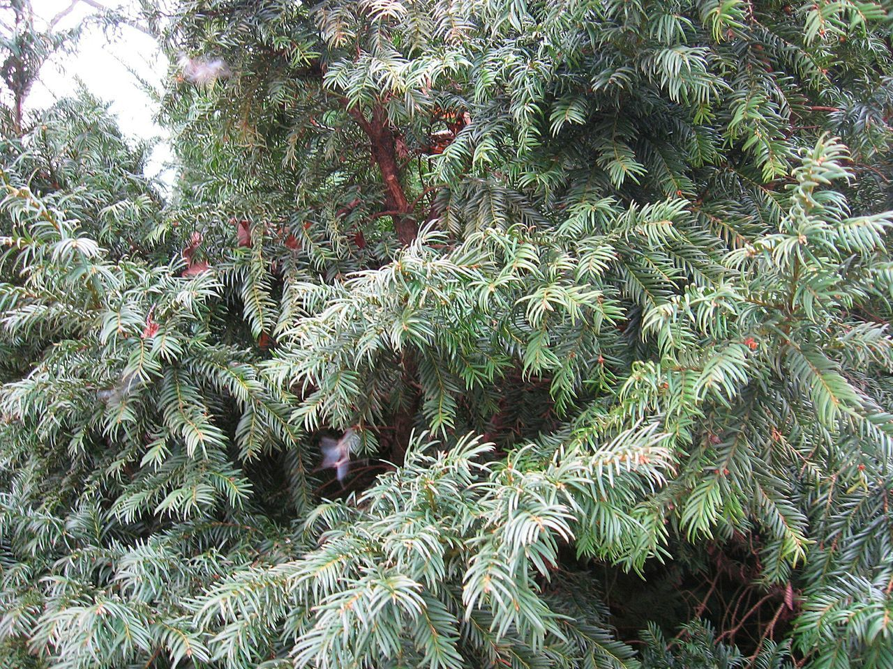 growth, green color, nature, plant, tree, needle - plant part, pine tree, day, outdoors, no people, cold temperature, beauty in nature, winter, branch, close-up