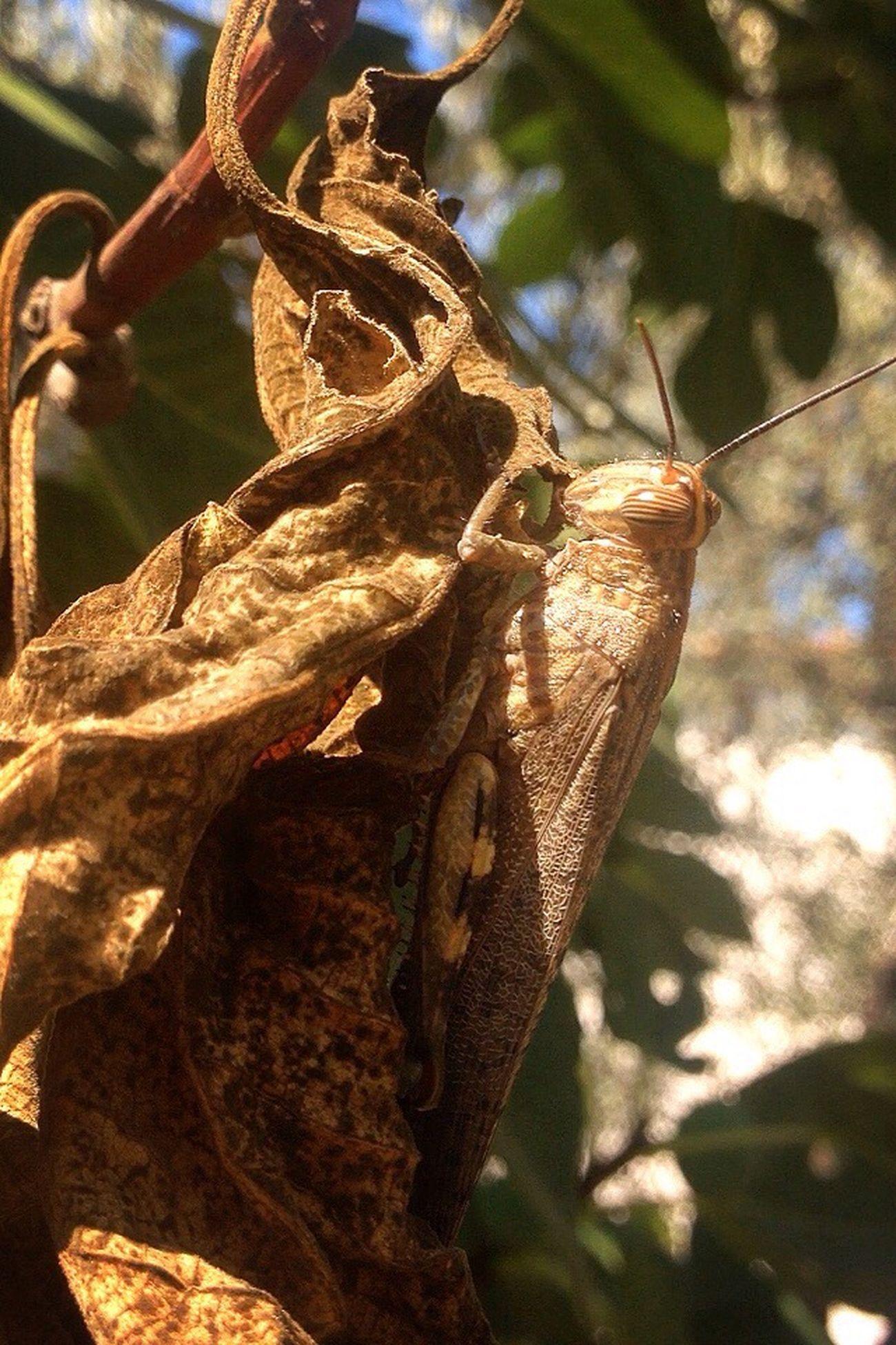 BIG Grasshopper Büyük çekirge Grasshoppers Dry Leaf 🍂🐜