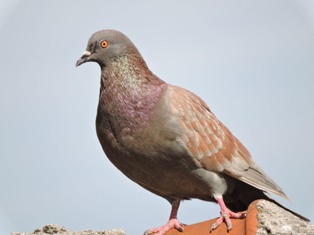 Animal Themes Animal Wildlife Animals In The Wild Bird Bird Of Prey Clear Sky Close-up One Animal Outdoors Perching Pigeon On The Old Roof