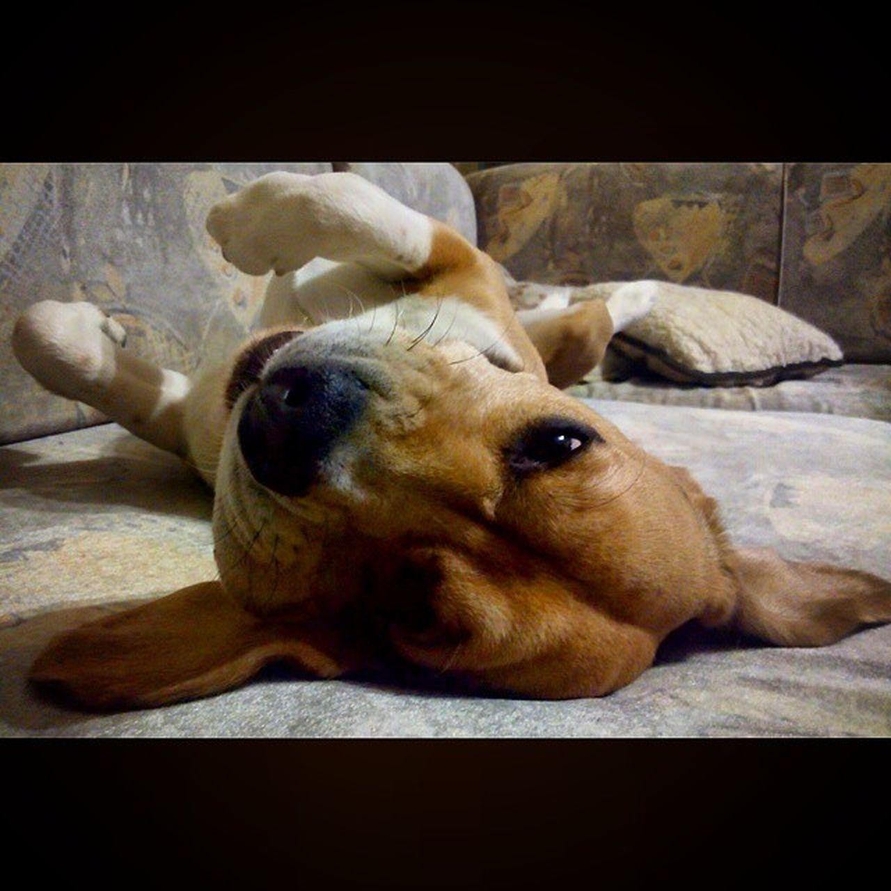 Beagle Beaglelove Dog Zseton Zsetont kidőlt 😁