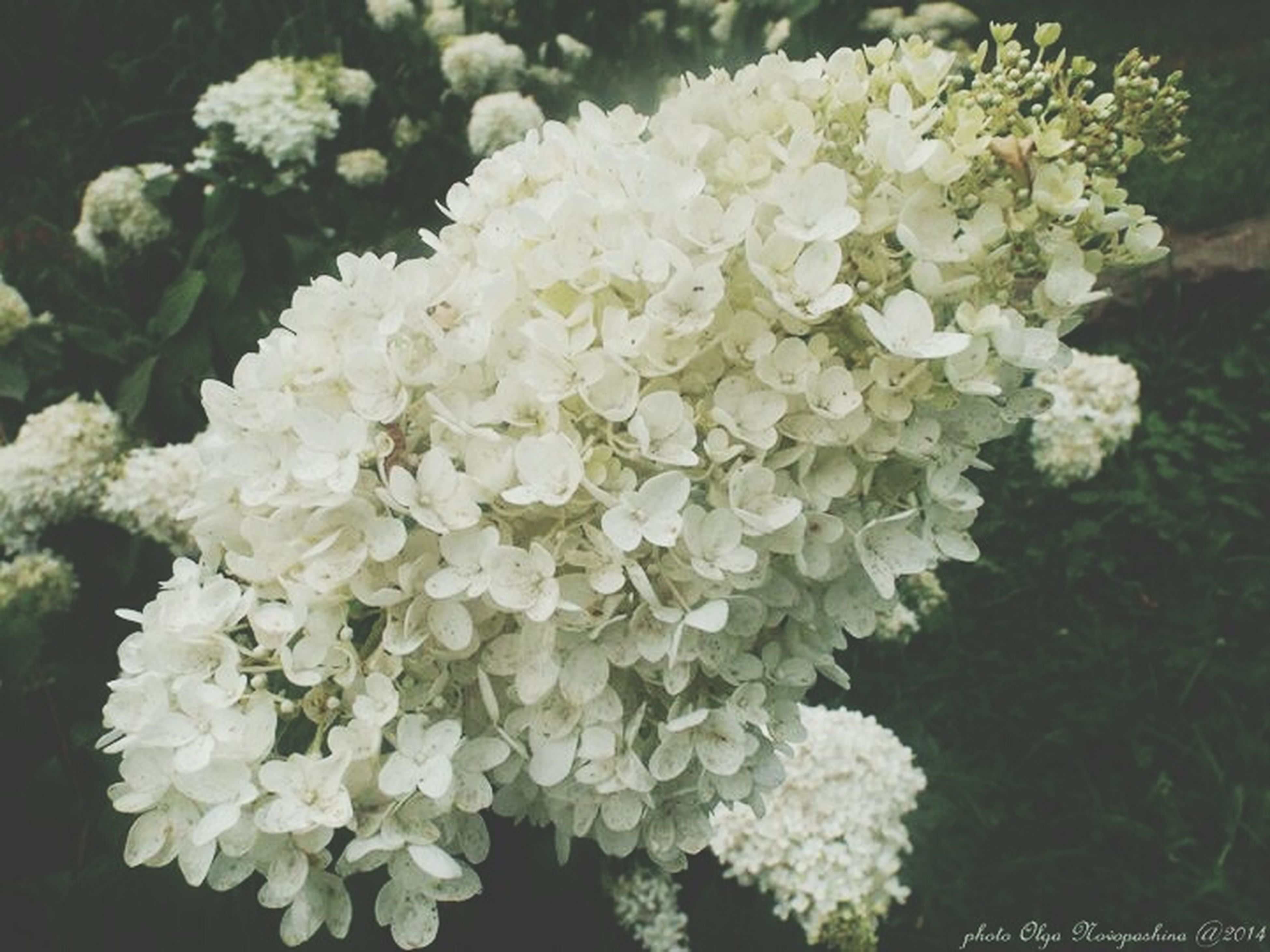 flower, freshness, fragility, petal, growth, beauty in nature, white color, flower head, blooming, nature, plant, close-up, high angle view, in bloom, blossom, bunch of flowers, focus on foreground, leaf, botany, park - man made space
