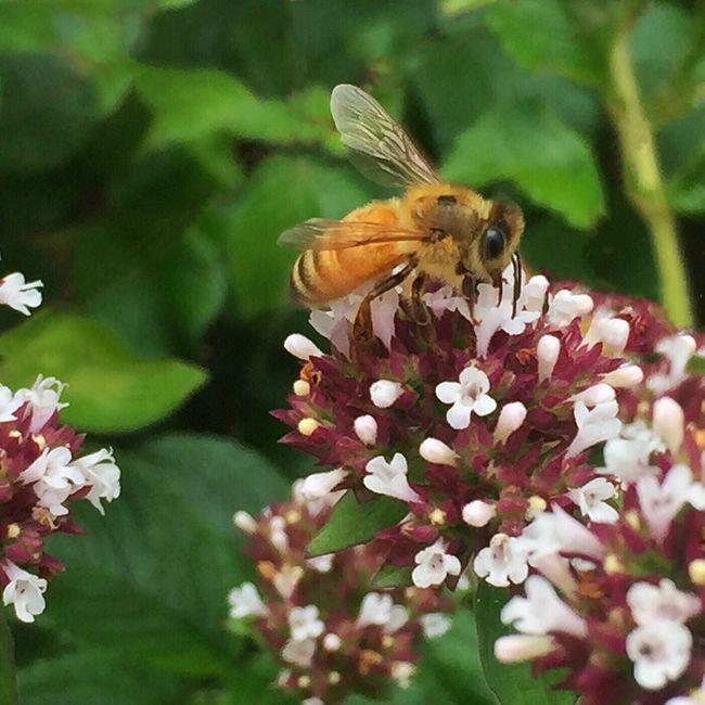 A honey bee pollinating some beautiful flowers Iphonephotography EyeEm Best Shots Beautiful Flowers Garden Nature Eye4photography  Macro Photography Beautifulflowerseveryday Flowers, Nature And Beauty Nature's Best